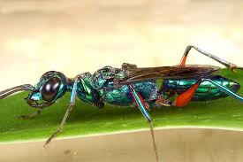 Scary Insects: The emerald cockroach wasp