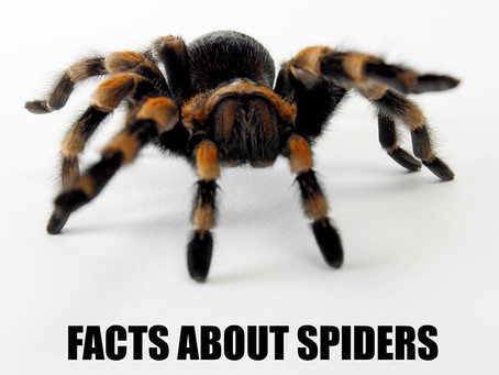 Spider facts: the deadliest spider in the world