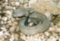 Crotalus durissus unicolor. Foto Marcel