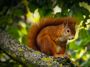 Thank You to All Involved in the Introduction of the Red Squirrel in Local Woods.