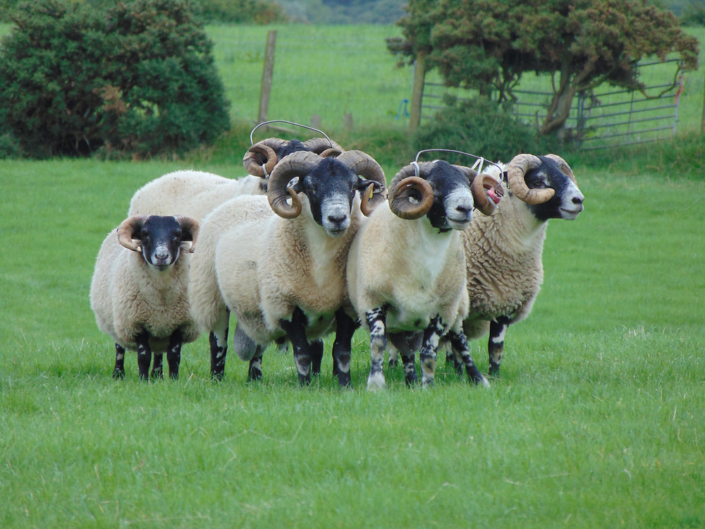 These rams spending a few weeks getting pampered in the fields close to BAllyCairn House. Two are wearing special 'braces' to prevent their curly horns growing towards their eyes.