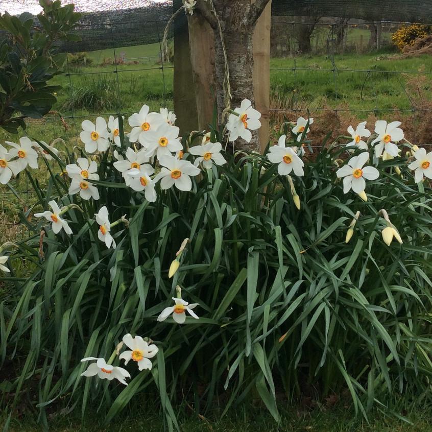 Pheasant Eye Narcissus