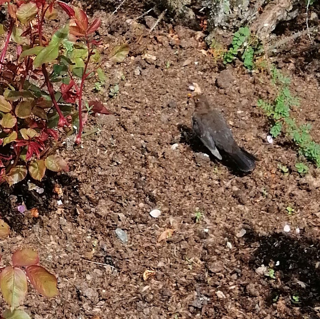 Spot the female Blackbird!