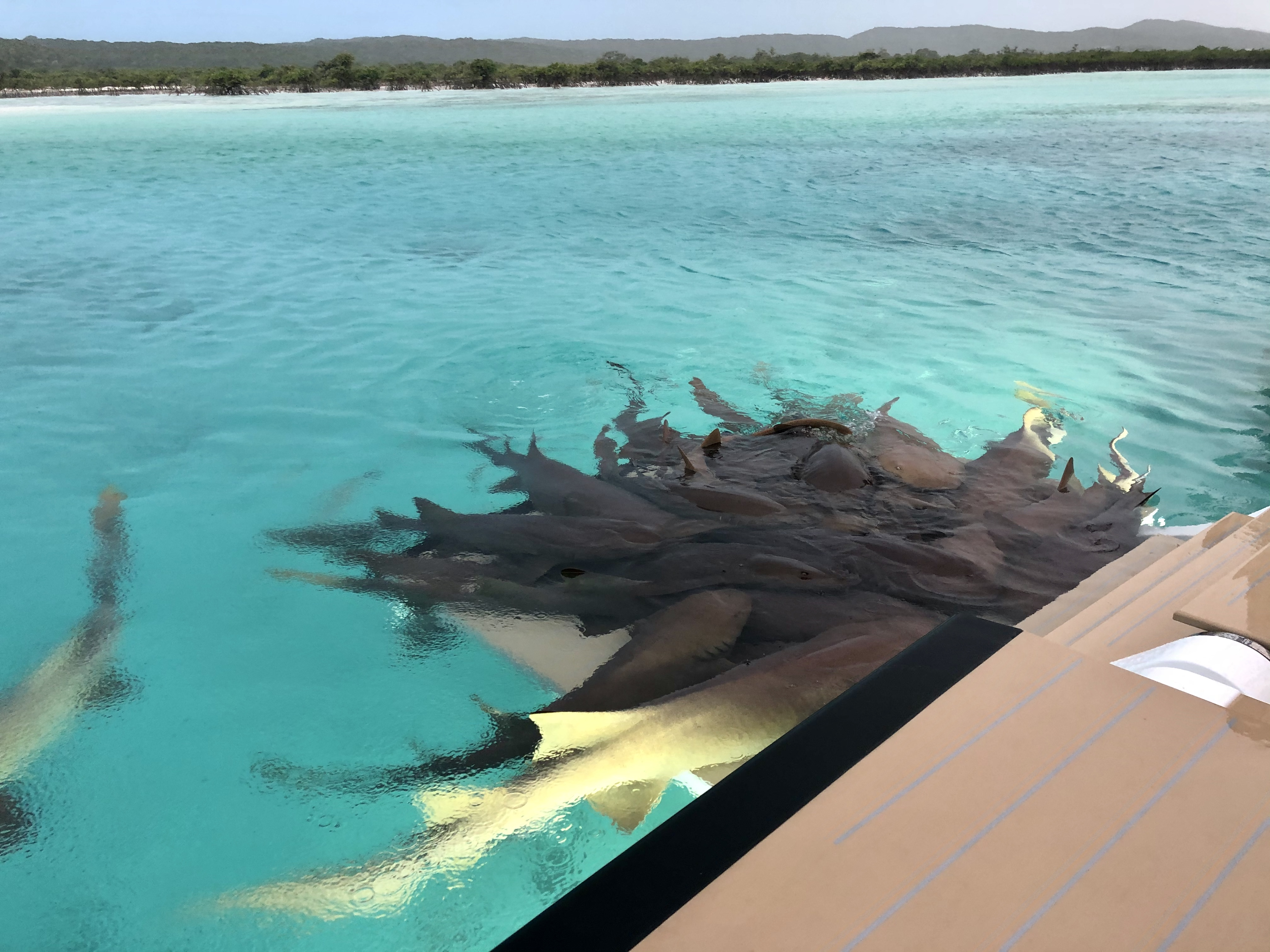 Nurse sharks - Compass Cay