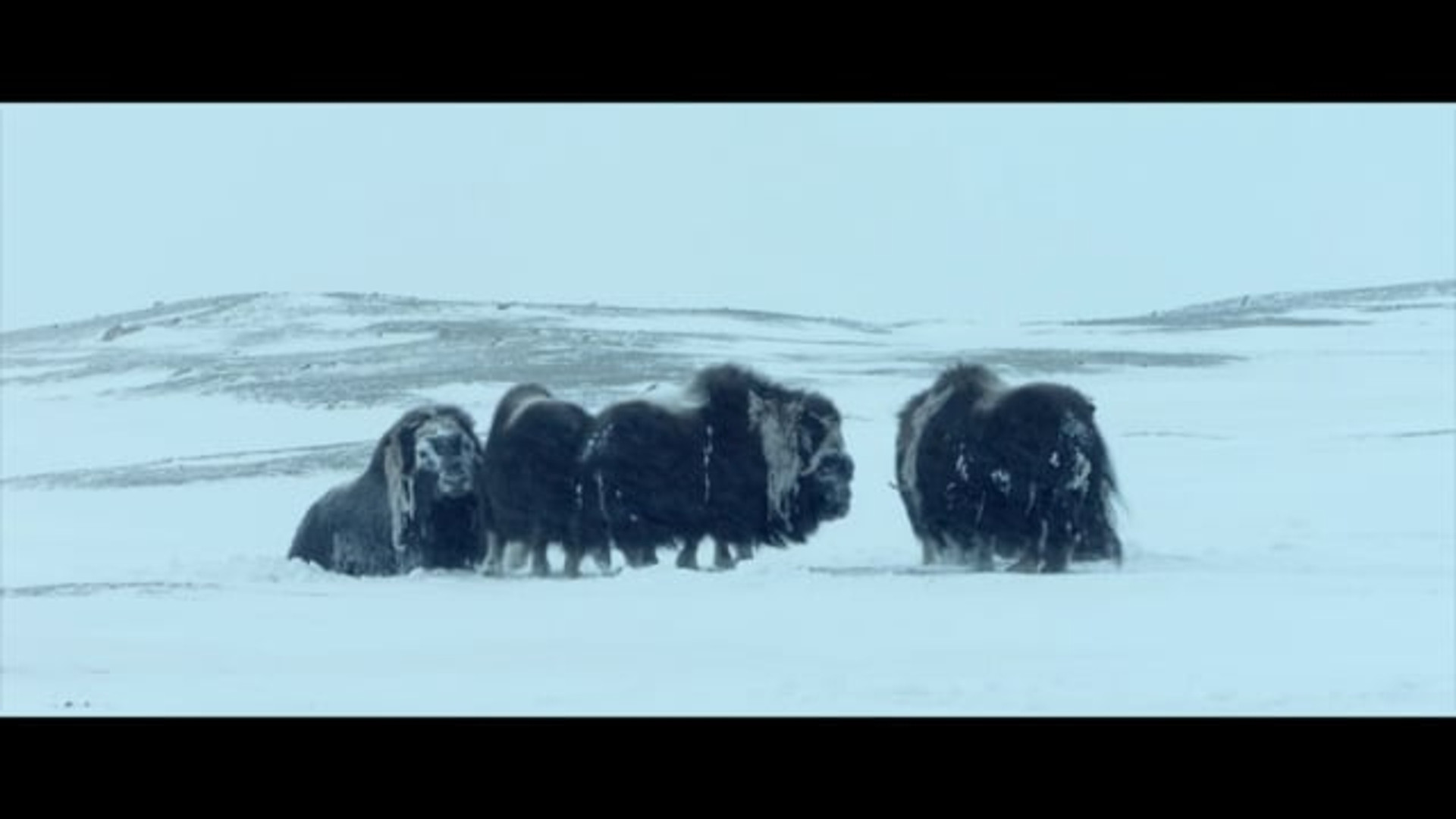 White Wolves: Ghosts of the Arctic  (0:55:00)