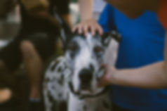 Great Dane canine physiotherapy beverley