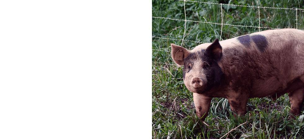 Swine-compressor.png