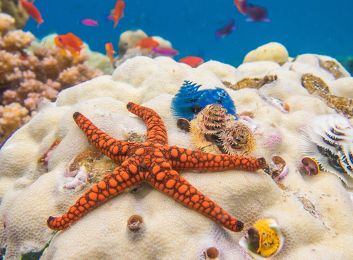 Sea Stars in the Shallows of Natewa Bay and Savusavu, Fiji