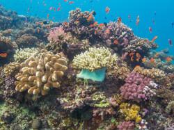 Hard & soft corals, Natewa Bay, Fiji