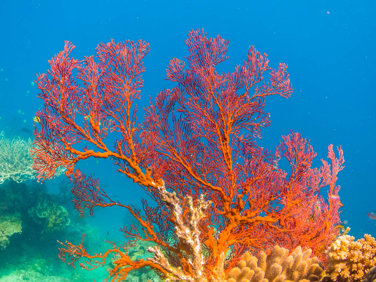 Gorgonian fan, Natewa Bay, Fiji