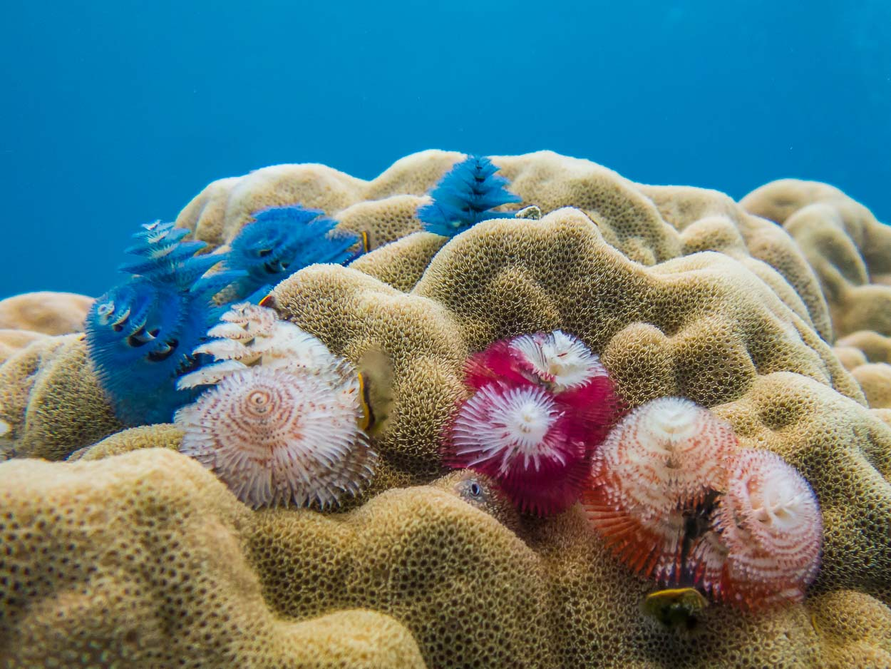 Christmas tree worms, Natewa Bay