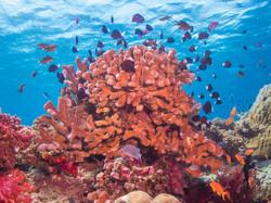 Reef fish, Natewa Bay
