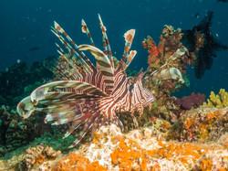 Lionfish, Natewa Bay, Fiji