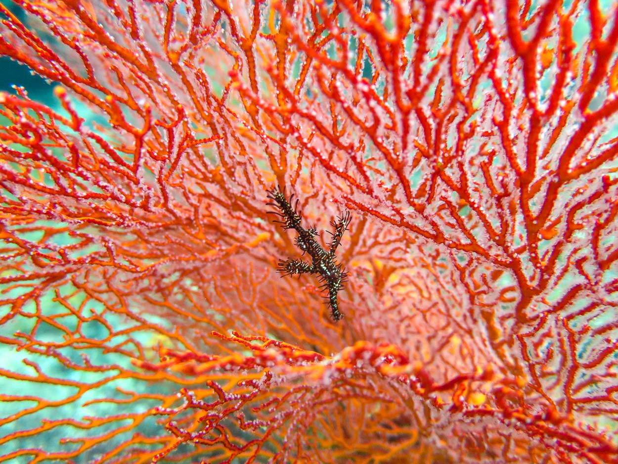 Ornate ghost pipefish in gorgonian