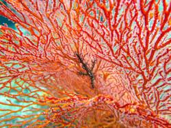 Ornate ghost pipefish in gorgonian
