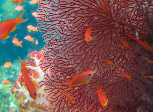 The untouched shallow water corals of Natewa Bay, near Savusavu, Fiji