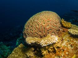 Massive coral, Natewa Bay, Fiji