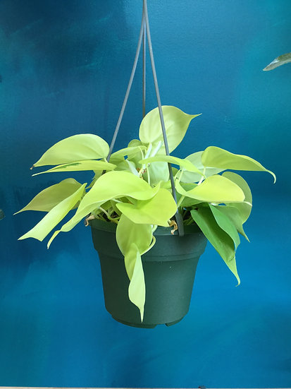 "Lemon Lime Philodendron Hanging Basket 6"""