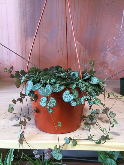 """String of Hearts / ceropegia woodii 4"""",6"""""""