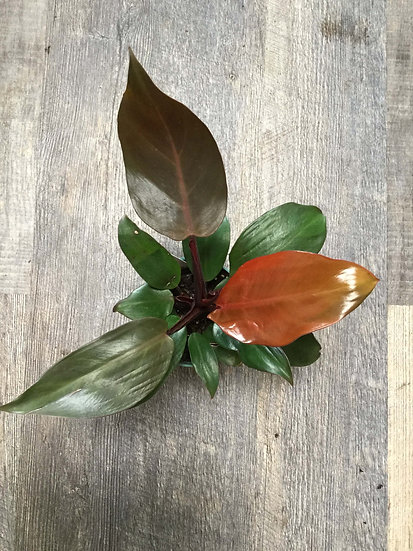 """Philodendron McColley 6"""""""