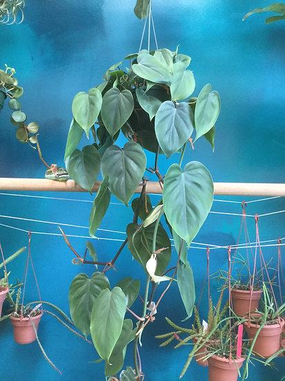 """Heartleaf Philodendron / Cordatum species  6"""" Hanging Basket"""
