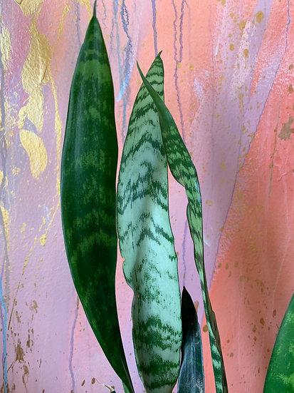 "Sansevieria 'Snake Plant' 4"""