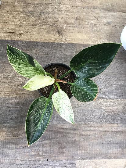 "Philodendron Birkin 4"", 6"""
