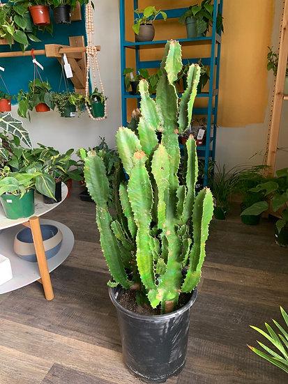 Euphorbia Hybrid