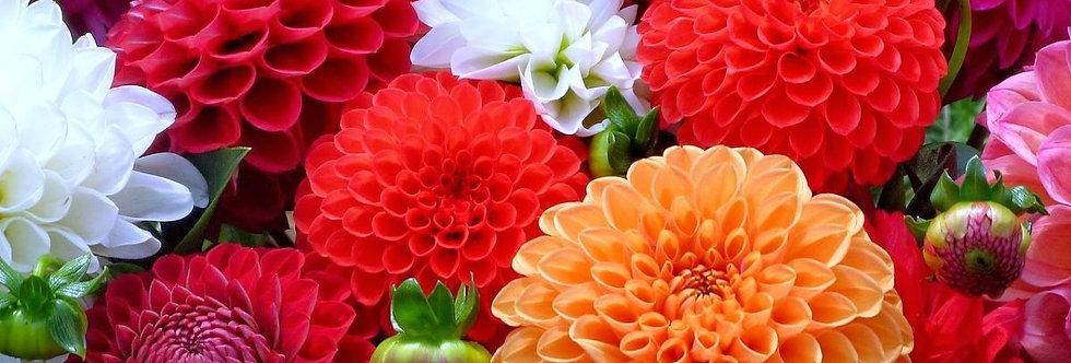 Dalia Decorativa (Colores variados)