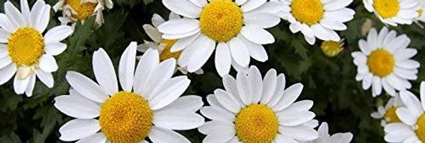 Crisantemo Enano Blanco