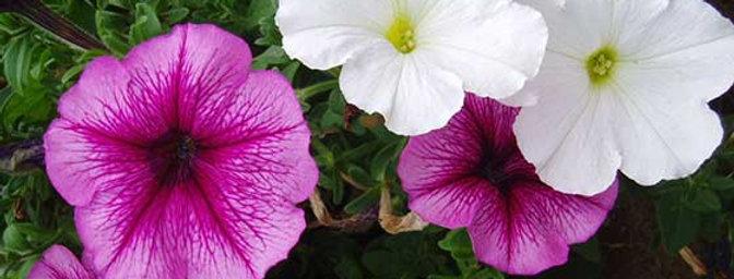 Petunia (colores variados)
