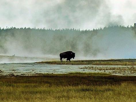 A Drive Through Yellowstone National Park