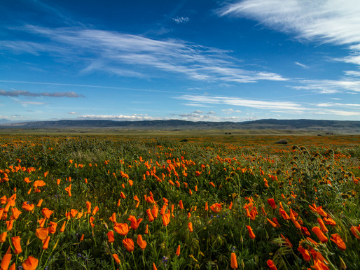 SuperBLOOM! Visiting Antelope Valley Poppy Reserve
