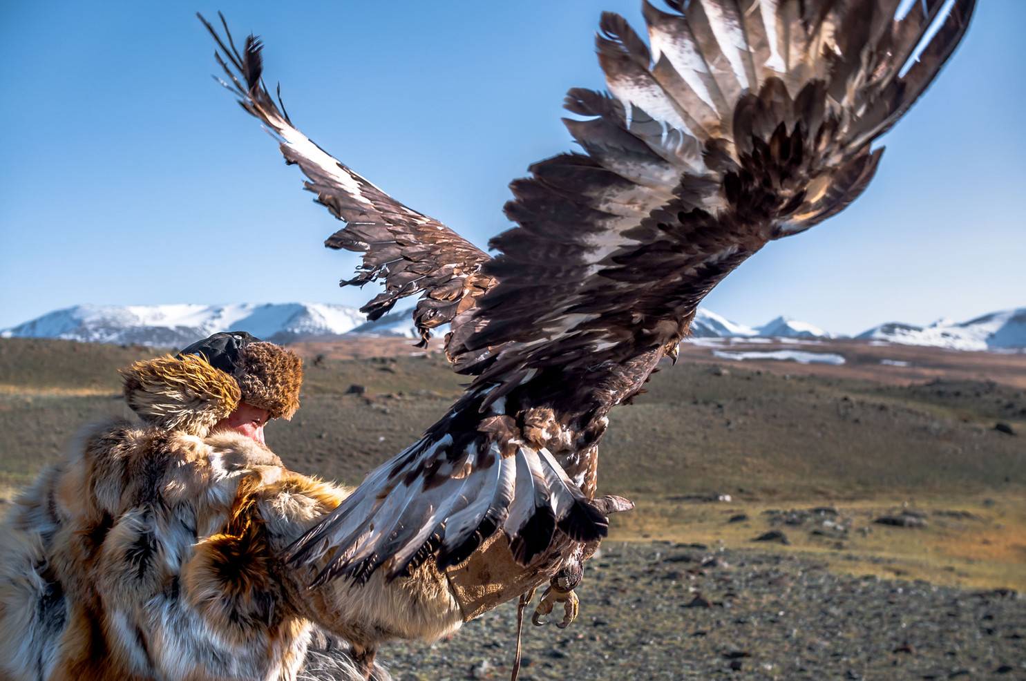 Esen releases his golden eagle as it takes flight in pursuit of a fake fur pellet.