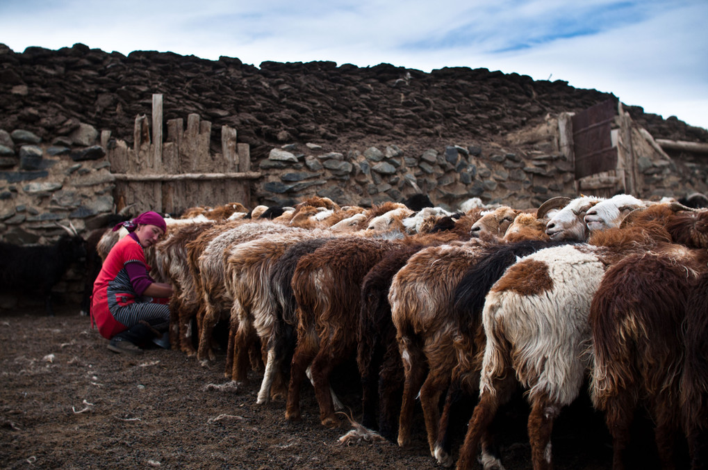 Esen's wife milks all the familly's goats multiple times a day. Every day, she is the first to rise and is constantly working around house. From cooking, washing, feeding, cleaning, she is truely the glue of the family.