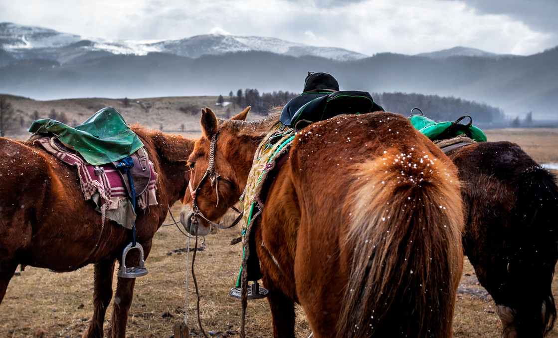 Esen's horses are saddled as they prepare to go out on a training session for the eagles.