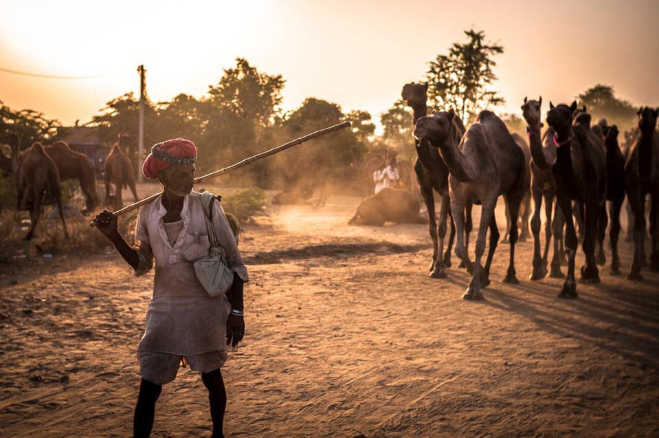 Camel Shepherd