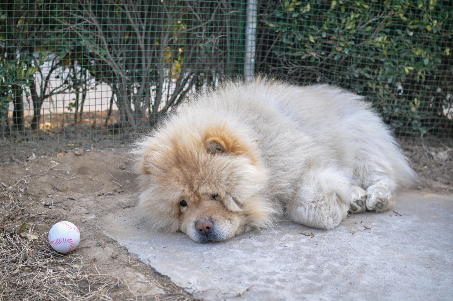 Xiao Xiong ignores Xiao Dong's attempts to play with him. Xiao Xiong once belonged to a friend of one of the nannies at New Hope who could not care for him any longer. The sad dog does little but sit there every day.