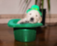 St pat puppy.jpg