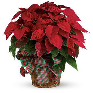 poinsettia 8 basket.png