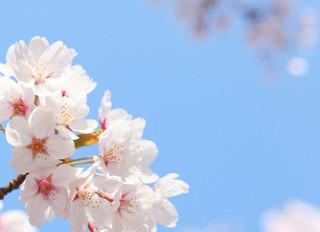 【お知らせ】5/3日本国花苑さつらまつりへの出店中止