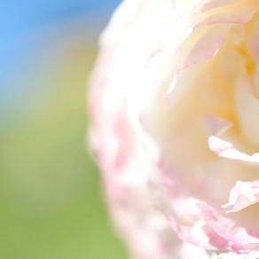 Il mondo delle rose