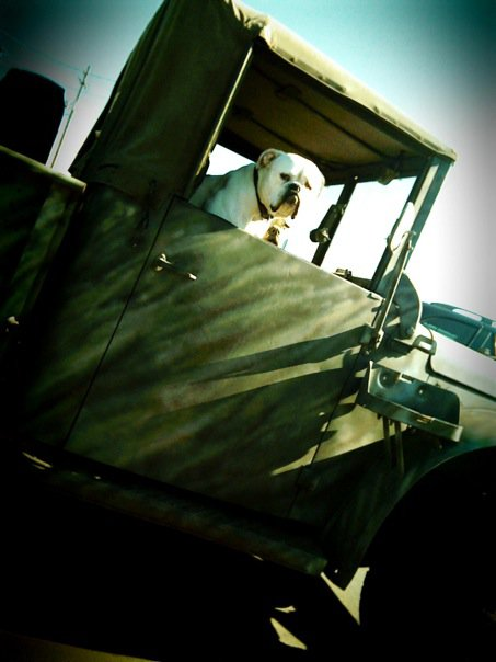 bulldog in car truck