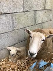Sheep & her Lamb