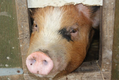 Peaking Pig