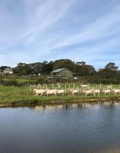 Sheep around the Lake