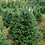 Thumbnail: Fraser Fir Tree