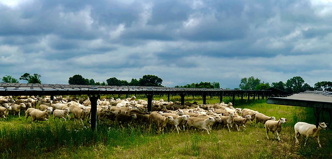 silicon-ranch-sheep-solar_edited_edited.