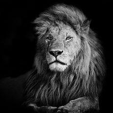 beautiful-lion-romeo-2-in-masai-mara-ken