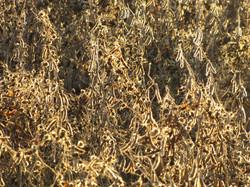 Golden Soybean Field